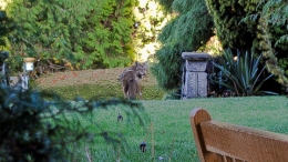 coyote, shaughnessy